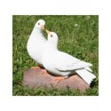 Couple de colombes blanches