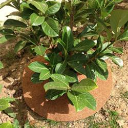 Disque de paillage naturel pour limiter l'arrosage et favoriser l'activité biologique du sol. Les disques sont pré-découpés pour les glisser plus facilement au pied des plantes. La collerette de paillage enrichie le sol et dure très longtemps.